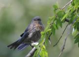Western Bluebird, female, 22/6/20