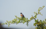 Western Bluebird, male, 08-Aug-2020