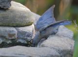 Western Bluebird, female, 14/8/20