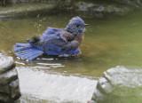Western Bluebirds, male bathing, 2/9/20