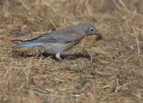 Western Bluebird, juvenile, 7/6/20