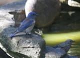 Western Bluebirds, adult male and juvenile, 22-Jun-2020