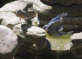 Western Bluebirds, 20/8/20
