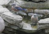 Western Bluebirds, 2/9/20