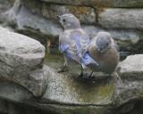 Western Bluebirds, juveniles, 2/9/20