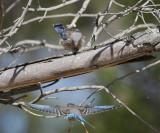 Western Bluebirds, juveniles, 7/6/20