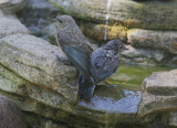 Western Bluebirds, juvenile, 19/6/20