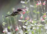 Anna's Hummingbird, male, 10-Oct-2020