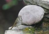 Hermit Thrush, 9/4/20