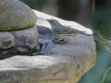 Yellow-rumped Warbler, Audubon's, 18-Oct-2020