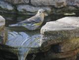 Yellow-rumped Warbler, Audubon's, 21-Oct-2020