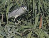 Black-crowned Night Heron, 31-Oct-2020