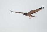 Northern Harrier, male, 31-Oct-2020