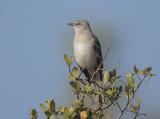 Northern Mockingbird, 31-Oct-2020