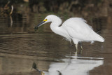 Snowy Egret, with food, 31-Oct-2020