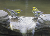 Townsend's Warblers, pair, female on left, 25/11/20