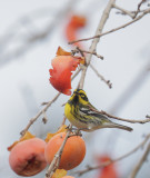 Townsend's Warbler, male, 25/11/20
