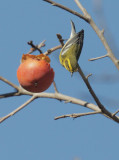Townsend's Warbler, female, 25/11/20