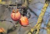 European Starling, persimmons, 20-Dec-2020