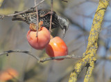 European Starling, with persimmon, 20-Dec-2020