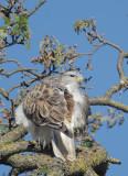 Ferruginous Hawk, 20/12/20