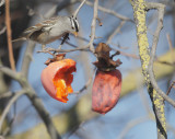 White-crowned Sparrow, persimmons, 20-Dec-2020