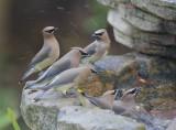 Cedar Waxwings, flock at fountain, 29/12/20.