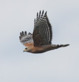 Red-shouldered Hawk, 10/1/21