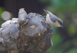 Pygmy Nuthatches, 12/1/21