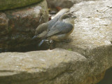 Pygmy Nuthatches, 12/Jan/2121
