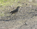 Northern Mockingbird, 18/1/21