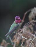 Anna's Hummingbird, male, 21/1/21