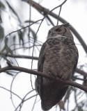 Great Horned Owl, 23/1/21