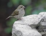 Purple Finch, female, 8/2/21