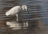 Snowy Egret, foraging, 18/1/21