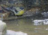 Lesser Goldfinch, male, 09-Mar-2021