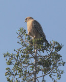 Red-shouldered Hawk, 10-May-2021