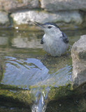 White-breasted Nuthatch, 18-Apr-2021