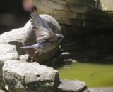 Western Bluebird, female, 12-May-2021