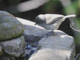 Oak Titmouse, juvenile, 17-May-2021