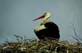 A Stork near Kuşadası, Turkey