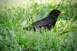 Common Blackbird, Rome