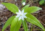 Bethlehem starflower 393