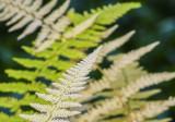 50 shades of ferns 628