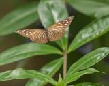Euploea Mulciber Basilissa