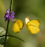 Eurema_hecabe_contubernalis_Common_Grass_Yellow_1.jpg