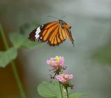 Common tiger (Danaus genutia genutia)