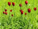 Tulips -N