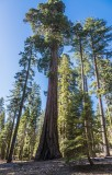 The Majestic Sequoia -N