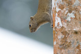 Hoary-bellied himalayan squirrel